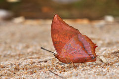 Tawny Rajah butterfly. Of Thailand background Stock Photography