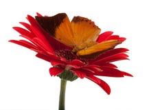 Tawny Rajah Butterfly [Charaxes Bernardus] Immagine Stock Libera da Diritti