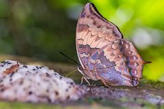 Tawny Rajah butterfly Royalty Free Stock Photo