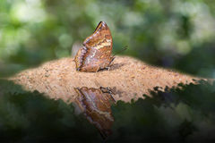 Tawny Rajah butterfly Royalty Free Stock Photography