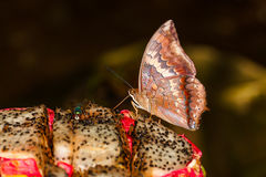 The Tawny Rajah butterfly on fruit Royalty Free Stock Photography