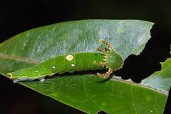 Tawny Rajah caterpillar Stock Photo