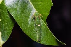 Tawny Rajah caterpillar Stock Images