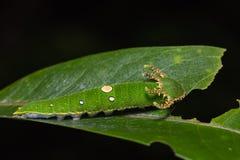 Tawny Rajah caterpillar Stock Photography