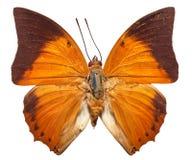 Tawny Rajah fjäril Arkivbild