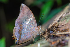 Tawny Rajah-vlinder Royalty-vrije Stock Afbeelding