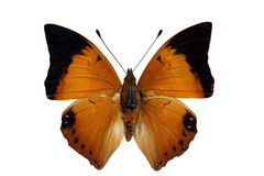 Tawny rajan (butterfly). Tawny rajan (butterfly on white Stock Images