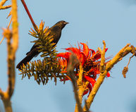 Tawny-shouldered Blackbird with red flowers. A Tawny-shouldered Blackbird (Agelaius humeralis) perches near to some beautiful red flowers Stock Photo