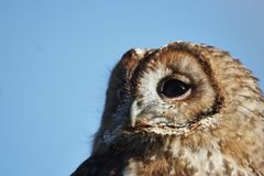 Tawny sowa Fotografia Royalty Free