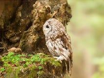 Tawny sowa siedzi na drzewie - Strix aluco - Obraz Stock
