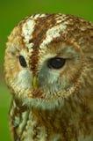 Tawny sowa w profilu pokazuje twarzowego dyska zdjęcia royalty free
