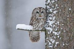 Tawny sowy śnieg zakrywający w opadzie śniegu podczas zimy, drzewny bagażnik z śniegiem obraz stock