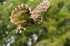Tawny sowy latanie Fotografia Stock