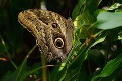 Tawny sowy motyl Memnon lub Caligo Zdjęcie Stock