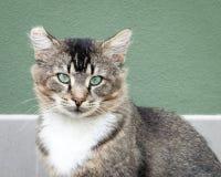 Tawny Tabby Cat con los ojos verdes intensos Foto de archivo