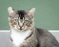 Tawny Tabby Cat with Intense Green Eyes. Tawny brown, black and white tabby cat with amazing intense green eyes sitting in front of a green and grey wall Stock Photo