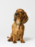 Tax på vit, brun hund Front View Looking Up Arkivfoto