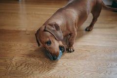 Tax som hemma spelar med en rubber leksak på golvet royaltyfri bild