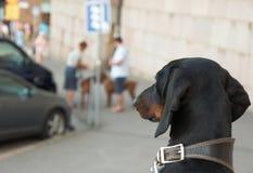 Tax som ser annan hundkapplöpning Arkivbild