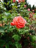 TAXA Rosa Fotos de Stock Royalty Free