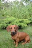 Taxavelhunden sitter på en grön gräsmatta Arkivfoton