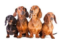 taxen dogs sittande white fyra Royaltyfri Fotografi