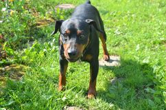 Taxhund 3 royaltyfria foton