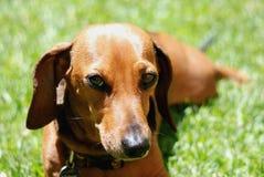 taxhund Fotografering för Bildbyråer