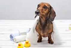 Taxhund i studio på den vita trätabellen arkivfoto
