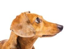 Taxhund som ser en sida arkivbild