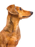 Taxhund som ser en sida royaltyfri bild