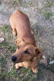 Taxhund som ser upp Royaltyfria Foton