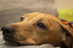 Taxhunden tystar ned Royaltyfri Bild