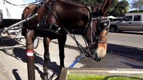 Taxi traído por caballo New Orleans Luisiana del agua potable del caballo metrajes