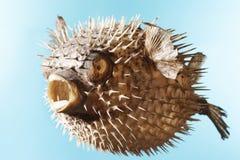 Taxidermal a gonflé des poissons de décolleur Photo libre de droits