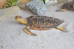 Taxidermia da tartaruga Fotografia de Stock