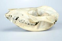 Taxidermia del cráneo del oposum Fotografía de archivo