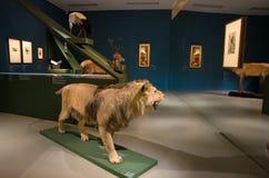 Taxidermic voorbereide leeuw in Landesmuseum, Innsbruck, Oostenrijk stock afbeeldingen