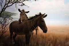 Taxidermie van twee zebras Stock Foto