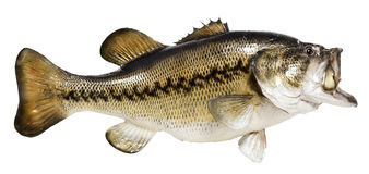 Taxidermied Fish. Mounted largemouth bass. Isolated. Horizontal Stock Images