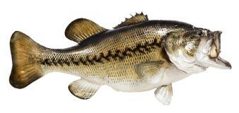 Taxidermied fisk Arkivbilder