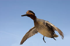 Taxidermied green-winged teal Royalty Free Stock Photography