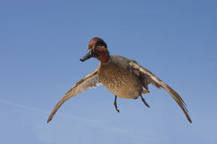 Taxidermied green-winged teal Stock Image