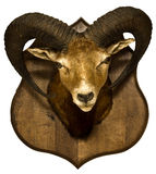 Taxidermied hunting trophy: Head of hungarian moufflon isolated Stock Image