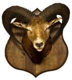 Taxidermied jakttrofé: Isolerat huvud av ungersk moufflon Fotografering för Bildbyråer