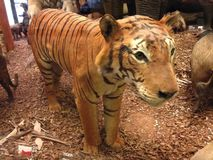 Taxidermied tiger. At natural history museum exhibition Stock Photography