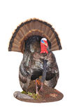 Taxidermied turkey. Taxidermy of a male (Tom) turkey in full strutt Royalty Free Stock Image