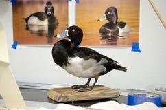 Taxidermiestudio Ringneck Duck Mount royalty-vrije stock foto