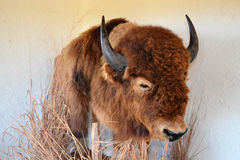 Taxidermy Buffalo Stock Photo
