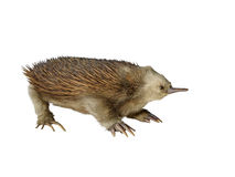 Taxidermy echidna isolated. On white background Stock Images